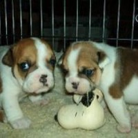 AKC English Bulldog Puppies looking for a good and permanent home.